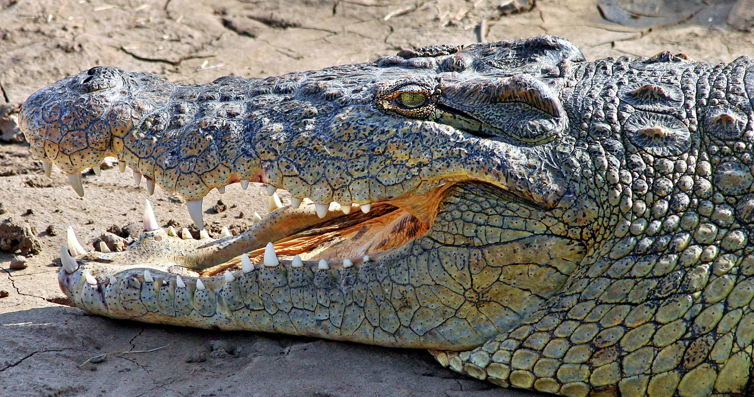 Nile Crocodile Most Deadly Animals