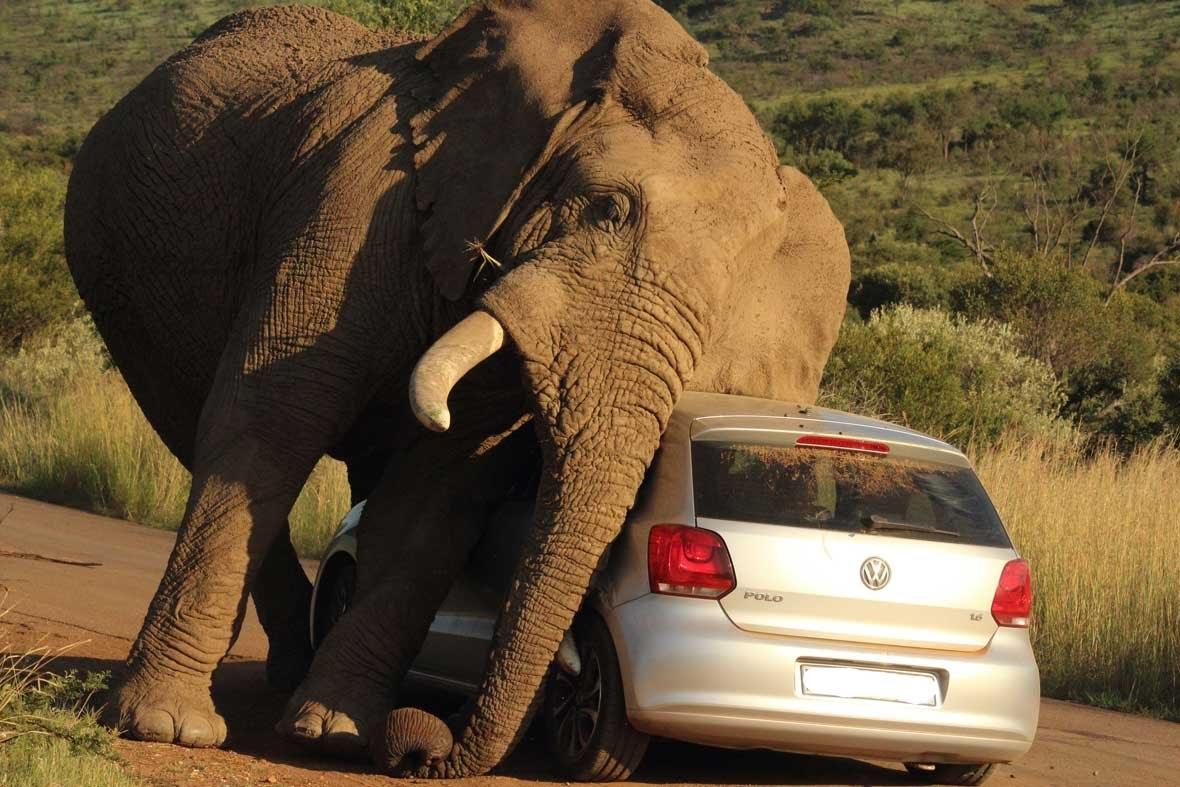 Elephants Most Dangerous Animals