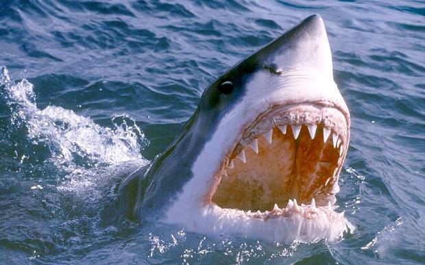 Great White Shark Africa