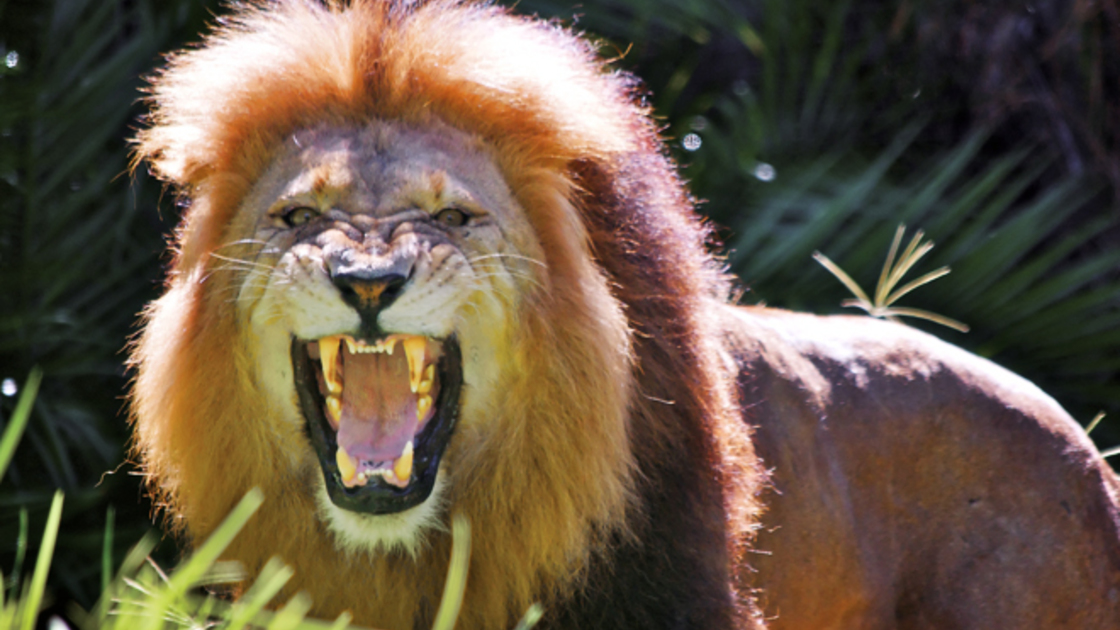 Lion Most Deadly Animals in Africa